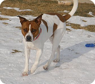 American Pit Bull Terrier Mix Dog for adoption in Meridian, Idaho - Oliver