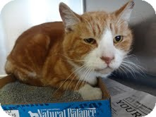 Domestic Shorthair Cat for adoption in East Brunswick, New Jersey - Heathcliff