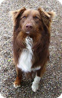 Australian Shepherd Mix Dog for adoption in Kalamazoo, Michigan - Dallas