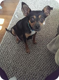 Miniature Pinscher Mix Dog for adoption in Manahawkin, New Jersey - Penny