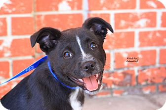 Australian Cattle Dog Mix Puppy for adoption in Flushing, Michigan - Nomi