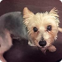 Adopt A Pet :: Presley - Long Beach, CA