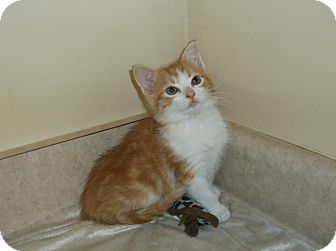 Domestic Shorthair Kitten for adoption in Circleville, Ohio - Moxie