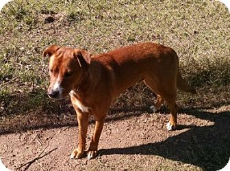 Pit Bull Terrier/Labrador Retriever Mix Dog for adoption in Cat Spring, Texas - Harry
