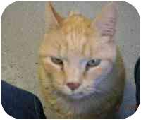 Domestic Shorthair Cat for adoption in Chepachet, Rhode Island - Capone