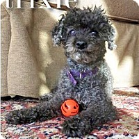 Adopt A Pet :: Trixie - Essex Junction, VT