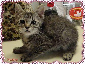 Domestic Shorthair Kitten for adoption in Ozark, Alabama - Heather