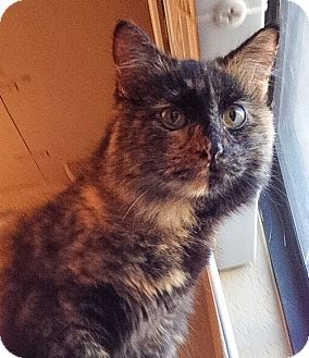 Domestic Shorthair Cat for adoption in Modesto, California - Trixie