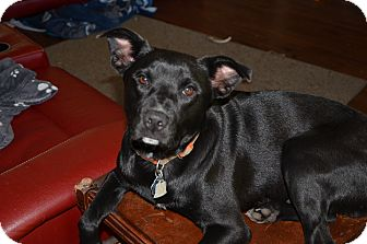 Labrador Retriever/Terrier (Unknown Type, Medium) Mix Dog for adoption in Bedminster, New Jersey - Jake