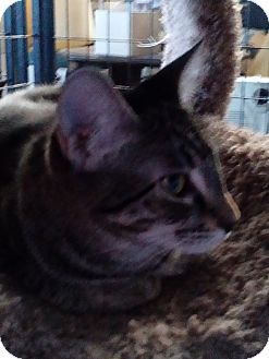 Domestic Shorthair Cat for adoption in Glendale, Arizona - Buster