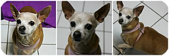 Chihuahua Dog for adoption in Forked River, New Jersey - Amiga