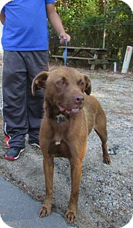Labrador Retriever Mix Dog for adoption in Warrenton, North Carolina - Misty