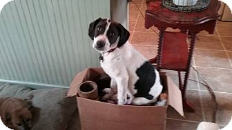 Hound (Unknown Type)/Border Collie Mix Puppy for adoption in oxford, New Jersey - Toto