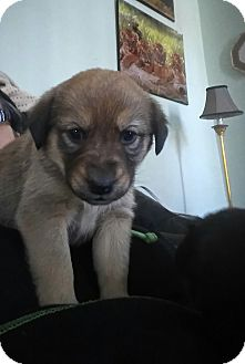 Beagle/Retriever (Unknown Type) Mix Puppy for adoption in Treton, Ontario - JADE