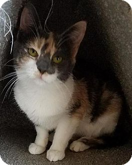 Domestic Shorthair Kitten for adoption in Westminster, California - Calgary