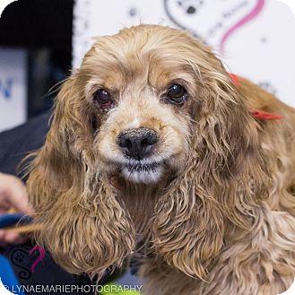 Cocker Spaniel Dog for adoption in Grand Rapids, Michigan - Bam Bam