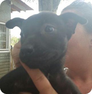 Siberian Husky/Labrador Retriever Mix Puppy for adoption in Chiefland, Florida - Brooklyn