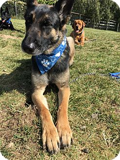 German Shepherd Dog Dog for adoption in Arroyo Grande, California - Deja