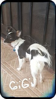 Papillon/Chihuahua Mix Puppy for adoption in Palm Bay, Florida - GiGI
