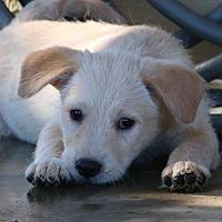 Adopt A Pet :: Loki - San Diego, CA
