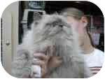 Himalayan Cat for adoption in Jacksonville, Florida - Hudson