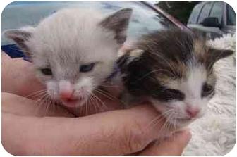 Siamese Kitten for adoption in Haughton, Louisiana - Callie and Cloud