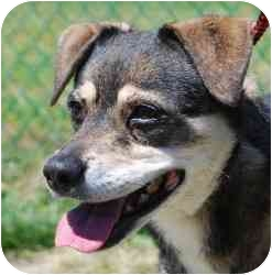 Husky/Chihuahua Mix Dog for adoption in Vineland, New Jersey - Roxie