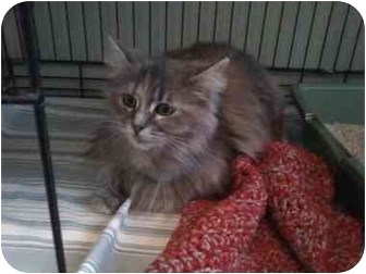 Domestic Longhair Cat for adoption in Columbiaville, Michigan - Annie