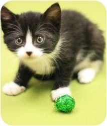 Domestic Shorthair Kitten for adoption in Chicago, Illinois - Milano