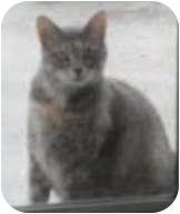 Calico Cat for adoption in Franklin, North Carolina - Lilith