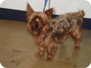 Yorkie, Yorkshire Terrier Dog for adoption in Garden City, Michigan - Toto