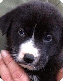 German Shepherd Dog Mix Puppy for adoption in Gainesville, Florida - Soleil