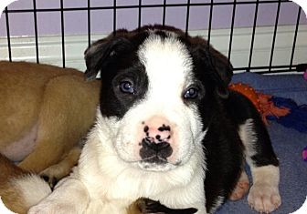 Australian Shepherd/Terrier (Unknown Type, Medium) Mix Puppy for adoption in Knoxville, Tennessee - Gill