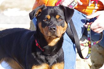 Rottweiler Mix Dog for adoption in Elyria, Ohio - Abby-Prison Graduate