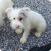 Adopt A Pet :: Aspen - Brattleboro, VT