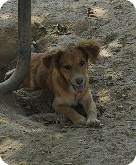 Dachshund Mix Puppy for adoption in East Hartford, Connecticut - Cassie-pending adoption