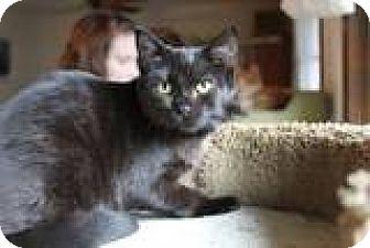Havana Brown Cat for adoption in Vancouver, Washington - Tootsie
