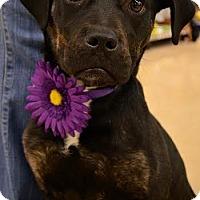 Adopt A Pet :: Brynn - Rockaway, NJ
