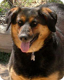 Australian Shepherd/Greater Swiss Mountain Dog Mix Dog for adoption in Long Beach, California - Marsha