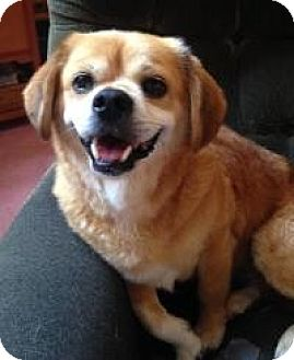 Pekingese/Pug Mix Dog for adoption in Morgantown, West Virginia - Chumlee