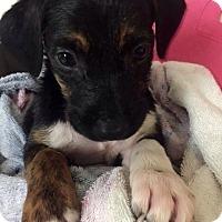 Adopt A Pet :: Melinda - Miami, FL