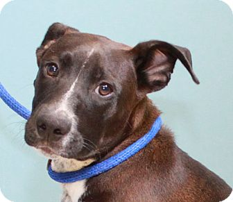 American Pit Bull Terrier/Labrador Retriever Mix Puppy for adoption in Staunton, Virginia - Vince