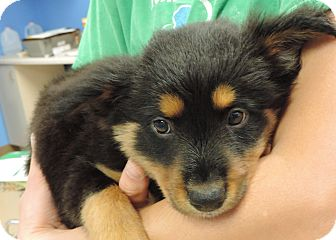Shepherd (Unknown Type) Mix Puppy for adoption in Brookings, South Dakota - Joey