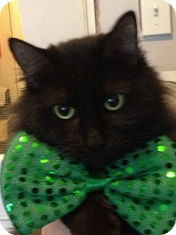 Domestic Longhair Cat for adoption in Loogootee, Indiana - Gizzy