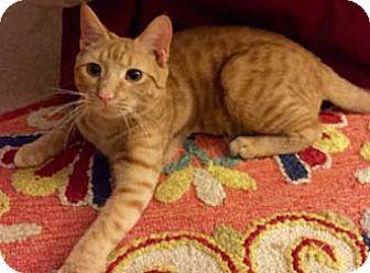 Domestic Shorthair Cat for adoption in Merrifield, Virginia - Tiger