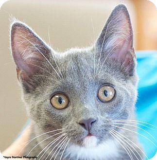 Domestic Shorthair Kitten for adoption in Huntsville, Alabama - Peter