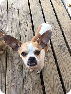 Pug/Chihuahua Mix Dog for adoption in Russellville, Kentucky - Jax