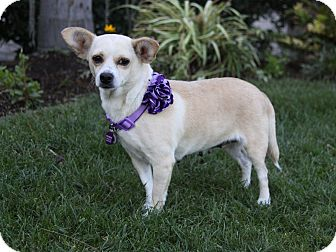 Chihuahua/Beagle Mix Dog for adoption in Newport Beach, California - TATIANA