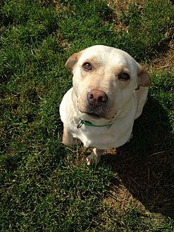 Labrador Retriever Mix Dog for adoption in Morris, Illinois - BASHA