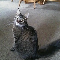 Domestic Longhair Cat for adoption in Delmont, Pennsylvania - Twix